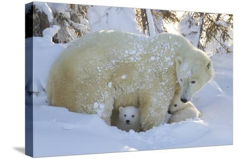 Polar Bear (Ursus Maritimus) and Cubs, Wapusk National Park, Churchill, Hudson Bay, Canada-David Jenkins-Stretched Canvas Print