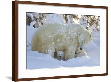 Polar Bear (Ursus Maritimus) and Cubs, Wapusk National Park, Churchill, Hudson Bay, Canada-David Jenkins-Framed Art Print