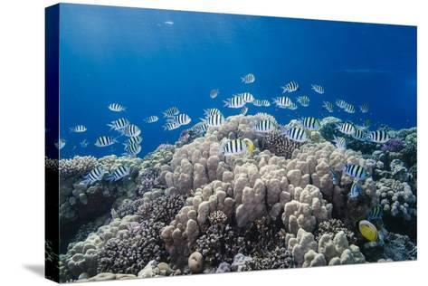 School of Sergeant Major Fish over Pristine Coral Reef, Jackson Reef, Off Sharm El Sheikh, Egypt-Mark Doherty-Stretched Canvas Print