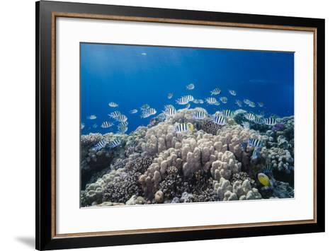 School of Sergeant Major Fish over Pristine Coral Reef, Jackson Reef, Off Sharm El Sheikh, Egypt-Mark Doherty-Framed Art Print