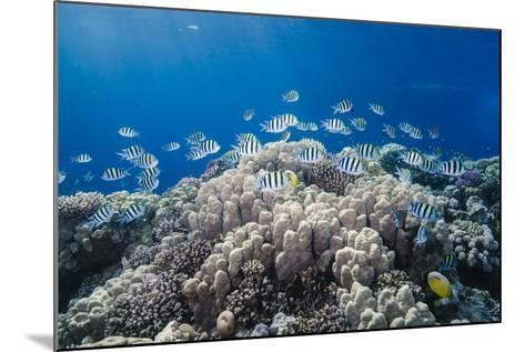 School of Sergeant Major Fish over Pristine Coral Reef, Jackson Reef, Off Sharm El Sheikh, Egypt-Mark Doherty-Mounted Photographic Print