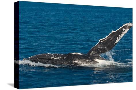 Humpback Whale (Megaptera Novaeangliae) in Harvey Bay, Queensland, Australia, Pacific-Michael Runkel-Stretched Canvas Print