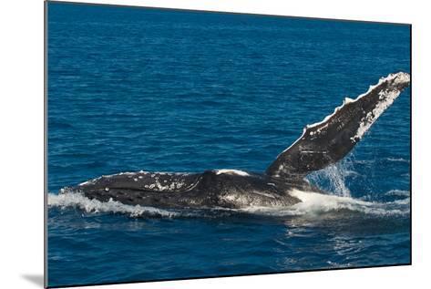 Humpback Whale (Megaptera Novaeangliae) in Harvey Bay, Queensland, Australia, Pacific-Michael Runkel-Mounted Photographic Print