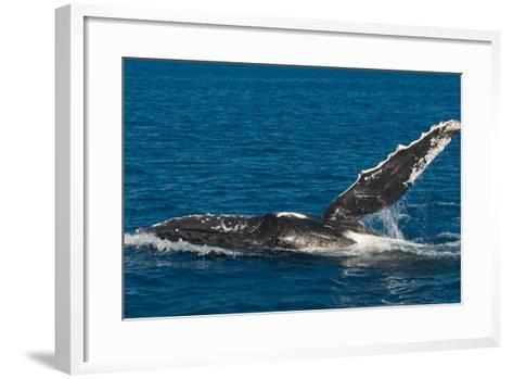 Humpback Whale (Megaptera Novaeangliae) in Harvey Bay, Queensland, Australia, Pacific-Michael Runkel-Framed Art Print