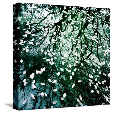 Cherry and Pear Tree Petals and Reflections on the Hood of a Car-Skip Brown-Stretched Canvas Print