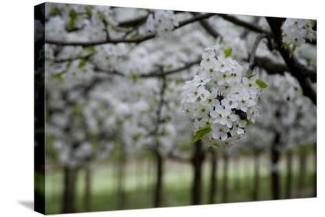 Pear Blossoms in Full Bloom Brighten Rows of Nursery Trees-Stephen St^ John-Stretched Canvas Print