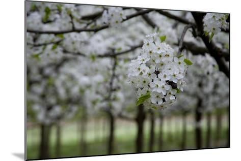 Pear Blossoms in Full Bloom Brighten Rows of Nursery Trees-Stephen St^ John-Mounted Photographic Print