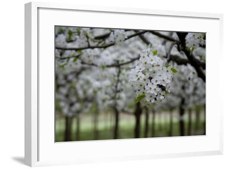 Pear Blossoms in Full Bloom Brighten Rows of Nursery Trees-Stephen St^ John-Framed Art Print