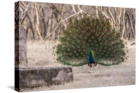 Portrait of a Male Indian Peacock, Pavo Cristatus, Displaying-Jonathan Irish-Stretched Canvas Print