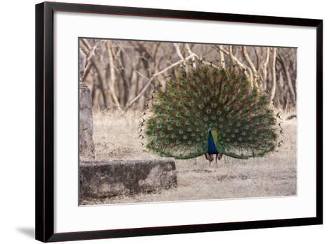 Portrait of a Male Indian Peacock, Pavo Cristatus, Displaying-Jonathan Irish-Framed Art Print