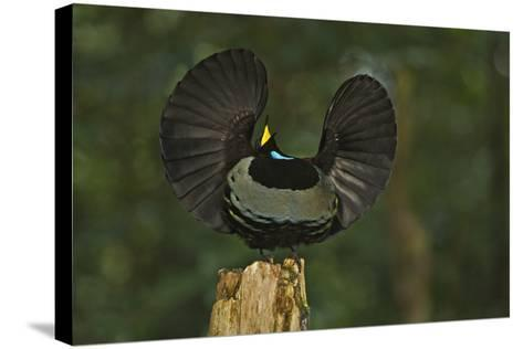 A Male Victoria's Riflebird on Display Perch Tries to Lure Down a Female with His Spread Wings-Tim Laman-Stretched Canvas Print