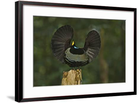 A Male Victoria's Riflebird on Display Perch Tries to Lure Down a Female with His Spread Wings-Tim Laman-Framed Art Print