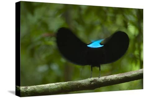 A male magnificent riflebird shape shifts to impress a potential mate.-Tim Laman-Stretched Canvas Print