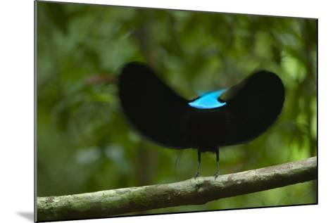A male magnificent riflebird shape shifts to impress a potential mate.-Tim Laman-Mounted Photographic Print