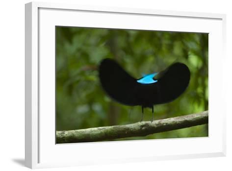 A male magnificent riflebird shape shifts to impress a potential mate.-Tim Laman-Framed Art Print