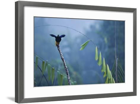 A Male Twelve Wired Bird of Paradise at His Display Pole-Tim Laman-Framed Art Print