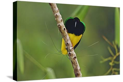 A Male Twelve Wired Bird of Paradise at His Display Pole-Tim Laman-Stretched Canvas Print