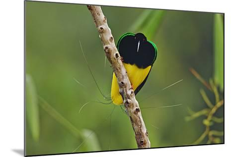 A Male Twelve Wired Bird of Paradise at His Display Pole-Tim Laman-Mounted Photographic Print