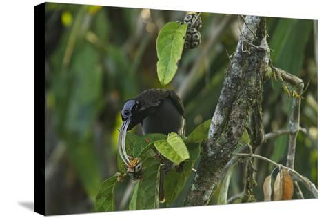 A Male Pale Billed Sicklebill Perches on a Tree Branch-Tim Laman-Stretched Canvas Print