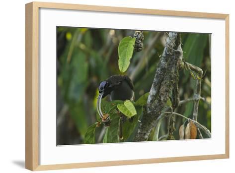 A Male Pale Billed Sicklebill Perches on a Tree Branch-Tim Laman-Framed Art Print