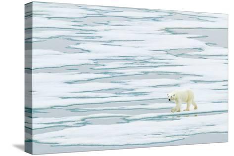 A Polar Bear Walks on Pack Ice-Ralph Lee Hopkins-Stretched Canvas Print