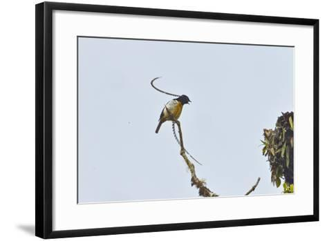 Tari Pass, Southern Highlands Province, Papua New Guinea-Tim Laman-Framed Art Print