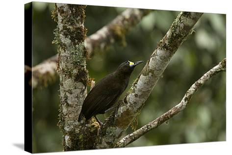 A Short Tailed Paradigalla Perches on a Tree Branch-Tim Laman-Stretched Canvas Print