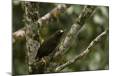 A Short Tailed Paradigalla Perches on a Tree Branch-Tim Laman-Mounted Photographic Print