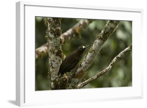 A Short Tailed Paradigalla Perches on a Tree Branch-Tim Laman-Framed Art Print