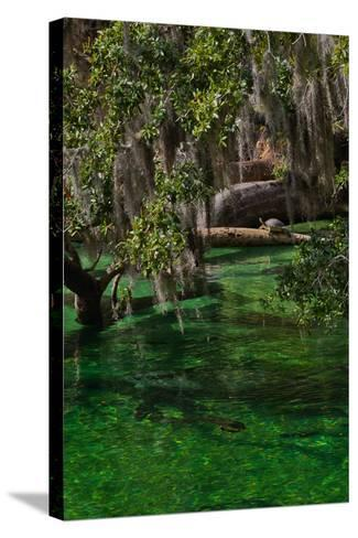 A Mother and Calf Manatee Enter a Protected Area-Ben Horton-Stretched Canvas Print