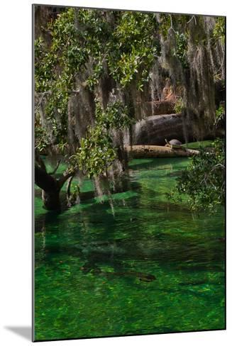 A Mother and Calf Manatee Enter a Protected Area-Ben Horton-Mounted Photographic Print