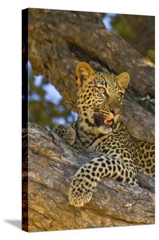 Portrait of a Leopard Perched in a Tree-Ralph Lee Hopkins-Stretched Canvas Print