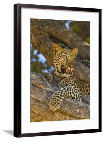Portrait of a Leopard Perched in a Tree-Ralph Lee Hopkins-Framed Art Print