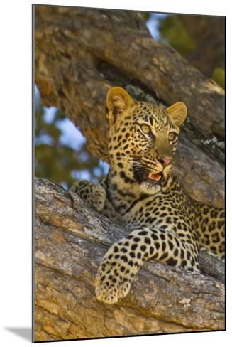 Portrait of a Leopard Perched in a Tree-Ralph Lee Hopkins-Mounted Photographic Print