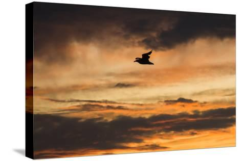 A Seagull in Flight in a Golden Sky at Sunset-Jonathan Irish-Stretched Canvas Print
