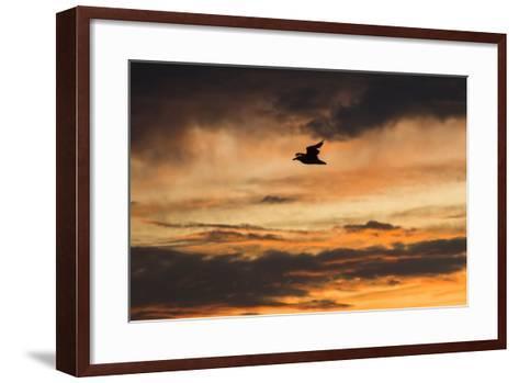 A Seagull in Flight in a Golden Sky at Sunset-Jonathan Irish-Framed Art Print