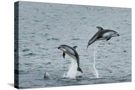 Pacific White-Sided Dolphins Jump Out of the Ocean-Ralph Lee Hopkins-Stretched Canvas Print