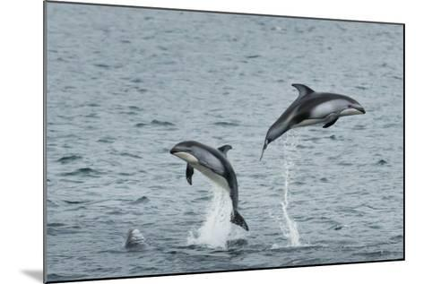 Pacific White-Sided Dolphins Jump Out of the Ocean-Ralph Lee Hopkins-Mounted Photographic Print