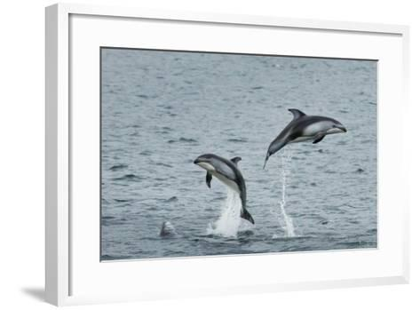 Pacific White-Sided Dolphins Jump Out of the Ocean-Ralph Lee Hopkins-Framed Art Print