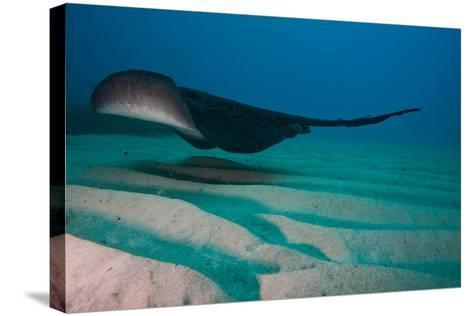 A Marbled Ray Hovers over the Sandy Ocean Floor-Ben Horton-Stretched Canvas Print
