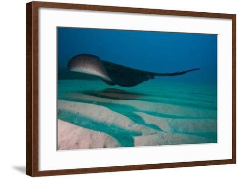 A Marbled Ray Hovers over the Sandy Ocean Floor-Ben Horton-Framed Art Print