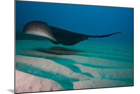 A Marbled Ray Hovers over the Sandy Ocean Floor-Ben Horton-Mounted Photographic Print