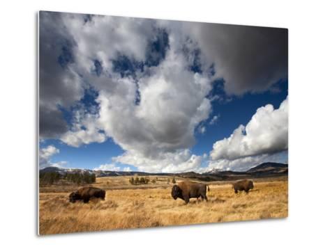 American Bison in Yellowstone National Park, Wyoming.--Metal Print