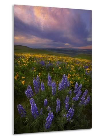Colorful Sunrise over the Wildflowers of the Columbia River Gorge in Washington-Miles Morgan-Metal Print