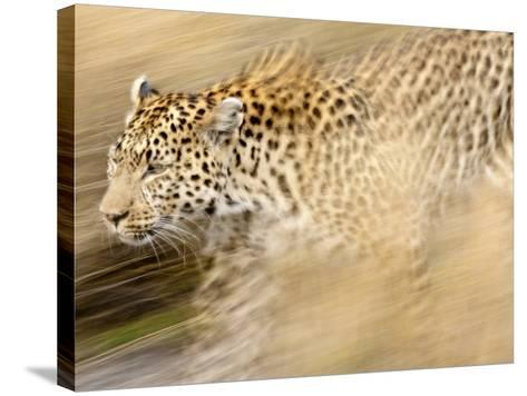 A Female Leopard Stalking Her Prey in Blurred Motion.-Karine Aigner-Stretched Canvas Print