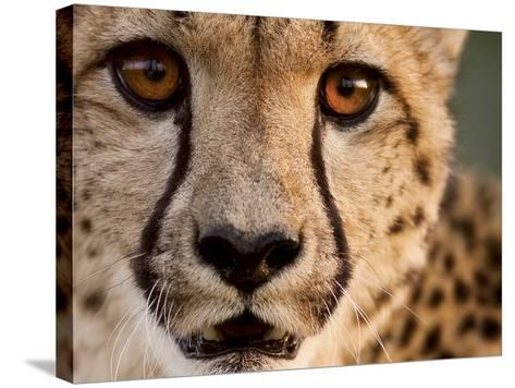 Close Up Portrait of a Cheetah.-Karine Aigner-Stretched Canvas Print