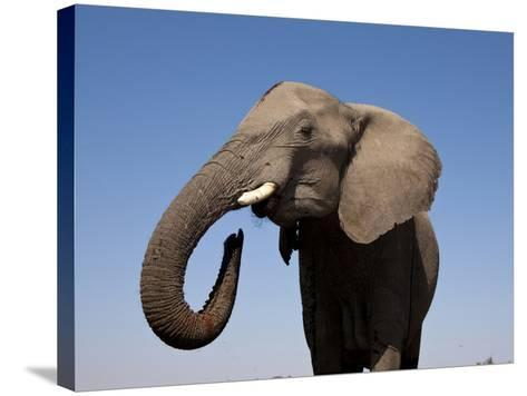 Close Up Portrait of an African Elephant on a Clear Blue Sky.  Hwange National Park, Zimbabwe-Karine Aigner-Stretched Canvas Print