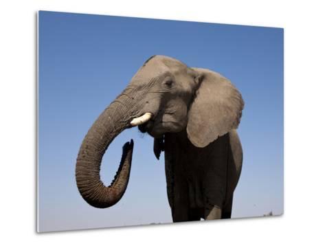 Close Up Portrait of an African Elephant on a Clear Blue Sky.  Hwange National Park, Zimbabwe-Karine Aigner-Metal Print
