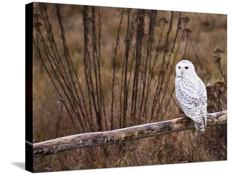 Snowy Owl Perched on Log-Mike Cavaroc-Stretched Canvas Print