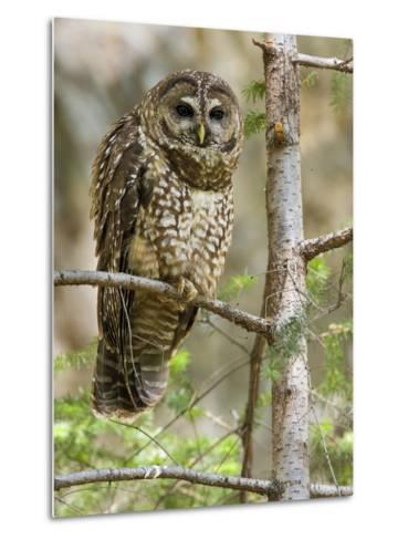 A Spotted Owl (Strix Occidentalis) in Los Angeles County, California.-Neil Losin-Metal Print